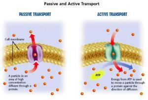 Transport Passif dan Aktif