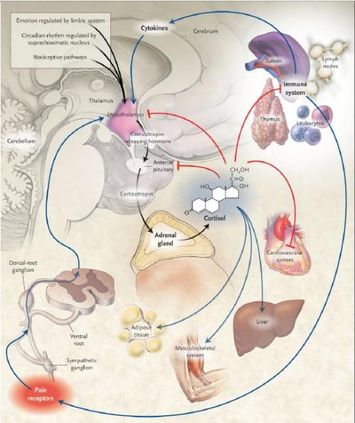 http://nadjeeb.files.wordpress.com/2011/03/glucocorticoid.jpg?w=500&h=594
